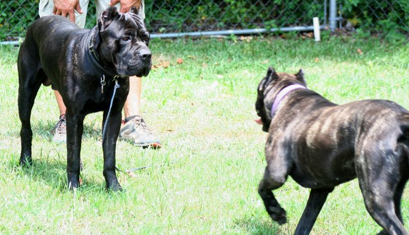 Male and Female Cane Corso