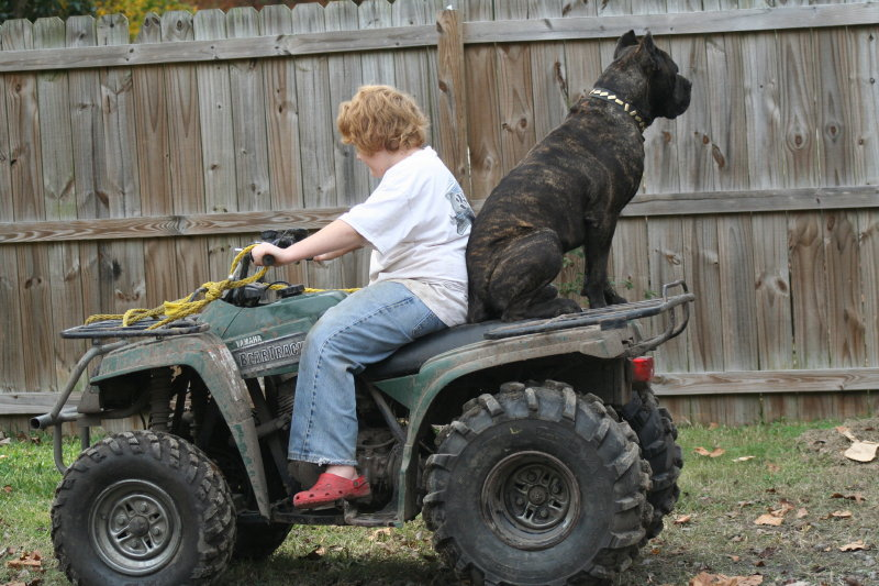 Cane Corso riding 4-wheeler