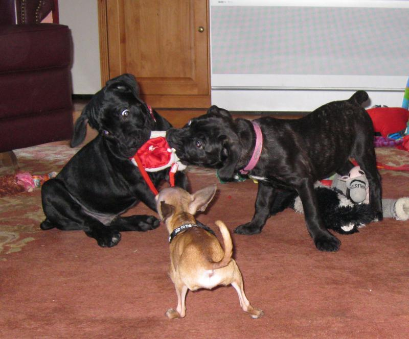 Cane Corso puppies playing