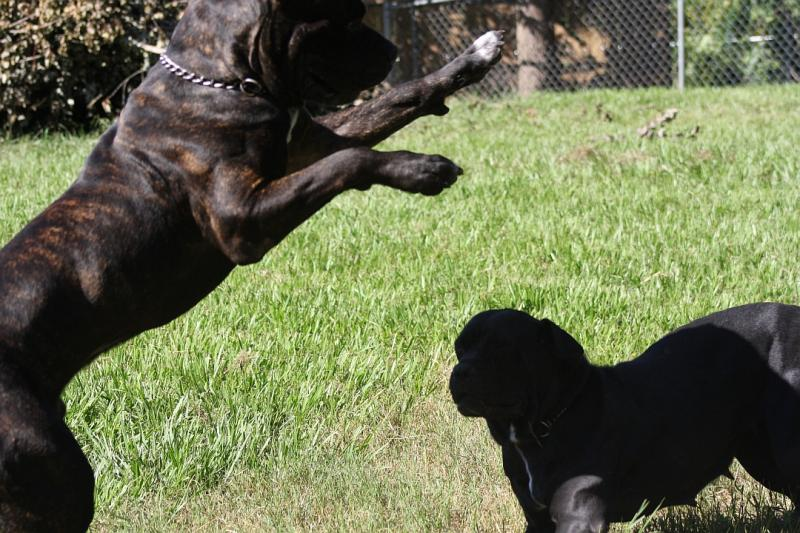 Cane Corso Mastiff Hip Certified Excellent quality
